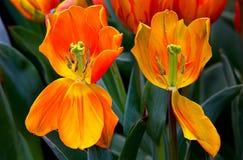 Deux tulipes défraîchies dans un domaine images stock