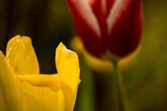 Deux tulipes dans un jardin Image libre de droits