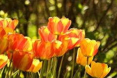 Deux tulipes de couleur Photo libre de droits