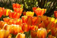 Deux tulipes de couleur Image stock