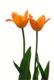 Deux tulipes jaunes. Images stock