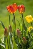 Deux tulipes oranges Photo libre de droits