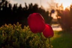 Deux tulipes romantiques Image libre de droits