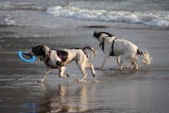 Deux type fonctionnant chiens de chasse d'épagneul de springer anglais sur une plage Image libre de droits