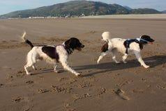 Deux type fonctionnant chiens de chasse d'épagneul de springer anglais sur une plage Photos libres de droits