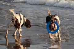 Deux type fonctionnant chiens de chasse d'épagneul de springer anglais sur une plage Photographie stock