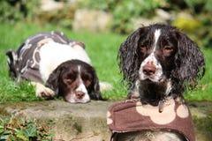 Deux type fonctionnant très mignon chiens de chasse d'épagneul de springer anglais Photos stock