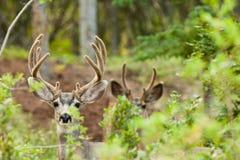 Deux types de cerfs communs de mule avec des andouillers de velours Photo libre de droits