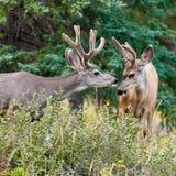 Deux types de cerfs communs de mule avec des andouillers de velours agissent l'un sur l'autre Photo stock