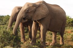 Deux vaches à éléphant africain photo libre de droits