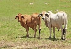 Deux vaches à brahman à une ferme de bétail Photographie stock libre de droits