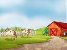 Deux vaches à la ferme avec une grange et une barrière Photo stock