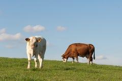 Deux vaches Photographie stock