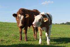 Deux vaches Photo libre de droits