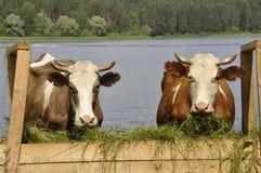 Deux vaches Images libres de droits