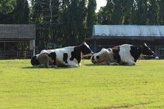 Deux vaches Image libre de droits