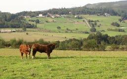 Deux vaches dans un domaine Photo stock