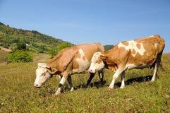 Deux vaches dans un horizontal d'été Photographie stock