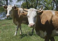 Deux vaches dans une forêt Image libre de droits