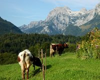 Deux vaches en montagne verte Photos stock