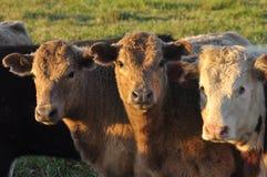 Deux vaches et un taureau de Hereford Images stock
