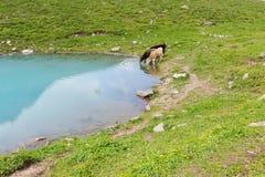 Deux vaches s'approchent du lac Photographie stock libre de droits