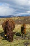 Deux vaches sur l'île de Skye Images libres de droits