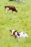 Deux vaches sur un champ herbeux vert Photographie stock libre de droits