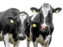 Deux vaches sur un fond blanc photographie stock libre de droits