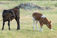 Deux veaux de longhorn mangeant l'herbe de prairie Photos stock