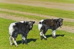 Deux veaux de yaks Photographie stock