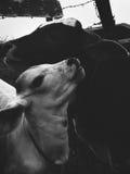Deux veaux montrant l'amour entre eux Image libre de droits