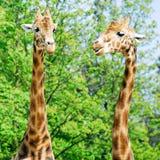 Deux verticales des giraffes Image stock
