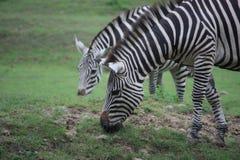 Deux zèbres Photo libre de droits