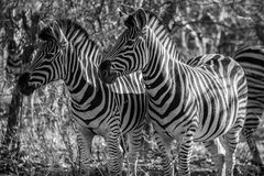Deux zèbres Image libre de droits