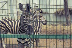 Deux zèbres adultes vivent dans le zoo images stock
