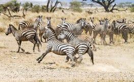 Deux zèbres combattant aux plaines de Serengeti Photographie stock libre de droits