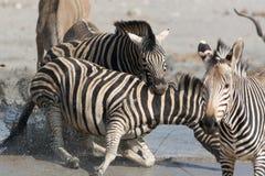 Deux zèbres combattant, on neckbiting Images stock
