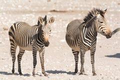 Deux zèbres de montagne de hartman dans le désert Image stock