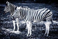 Deux zèbres de plaines se tenant dans l'herbe - noir et whi stylisés Photo libre de droits