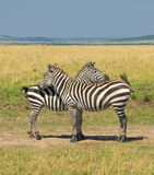 Deux zèbres, masais mara, Kenya Photos libres de droits
