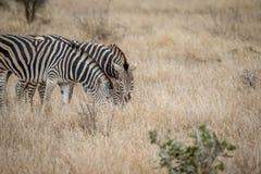 Deux zèbres se tenant dans la haute herbe photo libre de droits