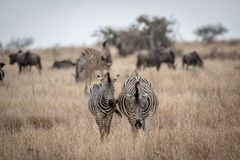 Deux zèbres se tenant dans la haute herbe photo stock