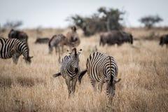Deux zèbres se tenant dans la haute herbe image libre de droits