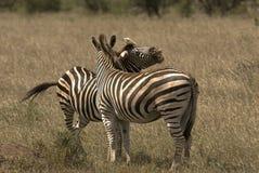Deux zèbres sur la plaine en verre Images libres de droits
