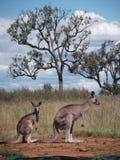Deuxième tir fendu des kangourous Photos stock