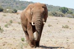 Devant nous l'éléphant énorme de Bush d'Africain images stock