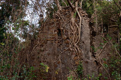 Devastated Fort. A destroyed fort wall with full of roots in the forest stock images