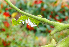 A Devastated Tomato / Tobacco Hornworm as host to parasitic braconid wasp eggs. Death to a Tobacco / Tomato Hornworm. Parasitic braconid wasp eggs use it for a royalty free stock photos