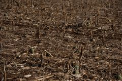 Devastating Drought in Africa with barren field. And failed crops royalty free stock photo